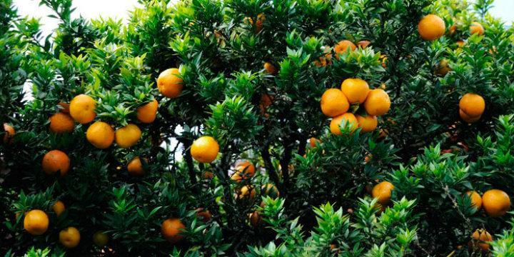 Sevilla pone en marcha un programa europeo para proteger los naranjos de una grave enfermedad