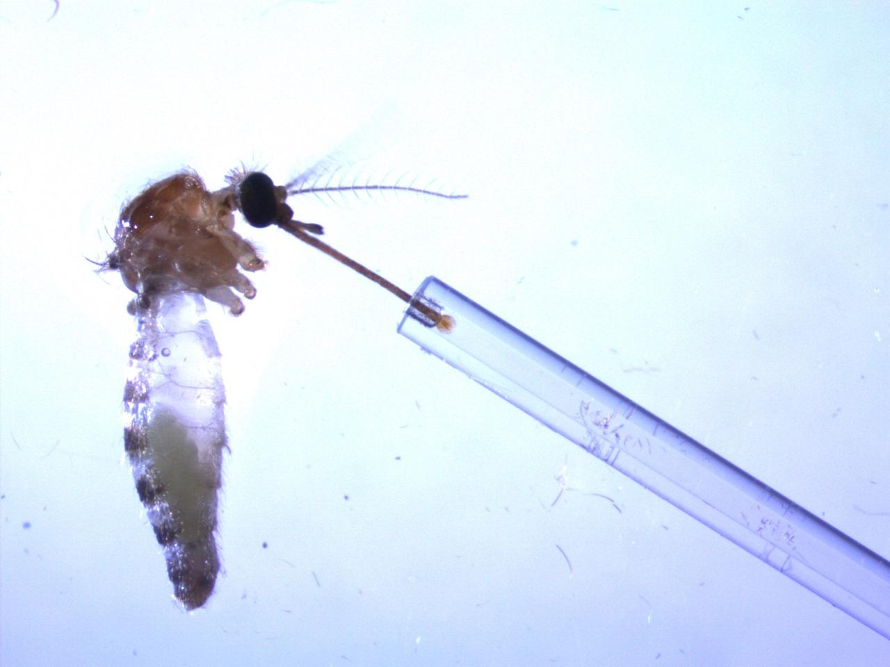 El olor de las aves infectadas por malaria atrae más a los mosquitos